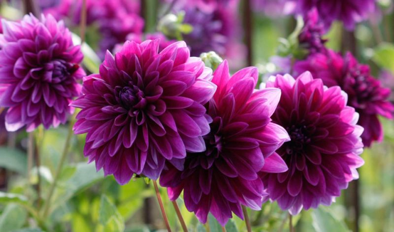 dahlia flower types images
