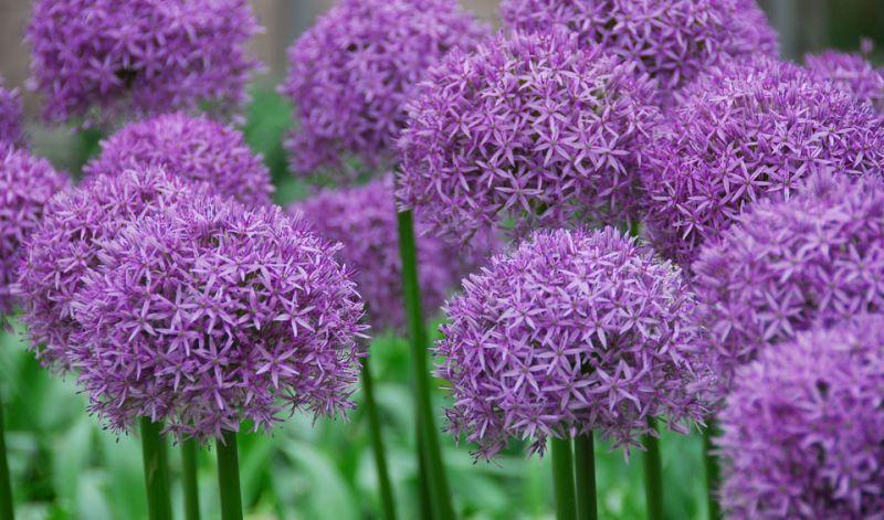 Allium alfatunense