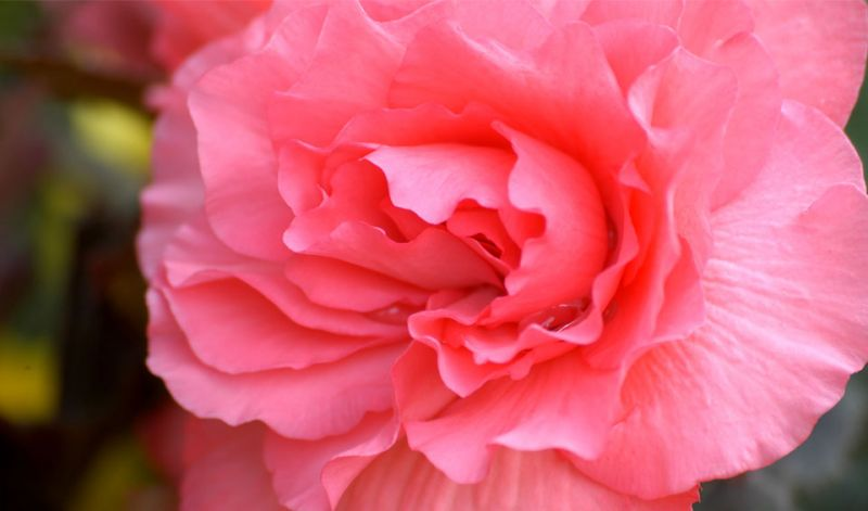 Begonia Double Camellia type / Roseform Begonia