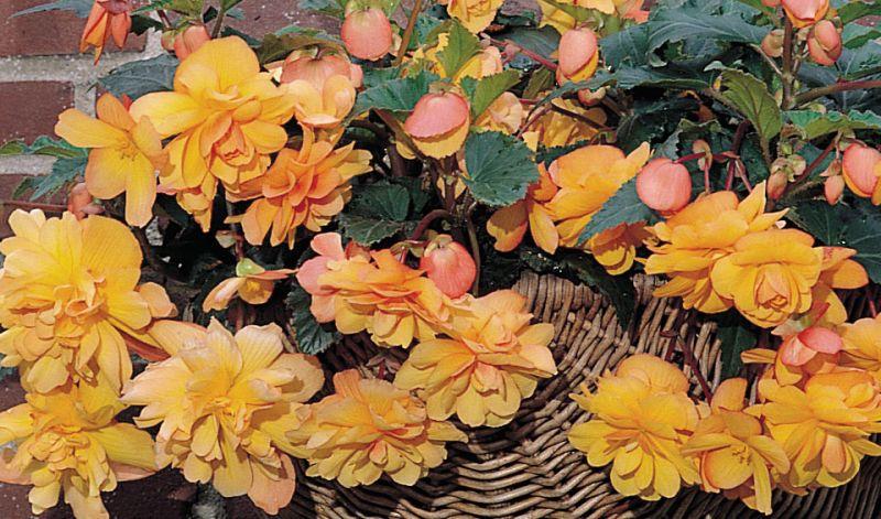 Begonia Pendula Cascade type
