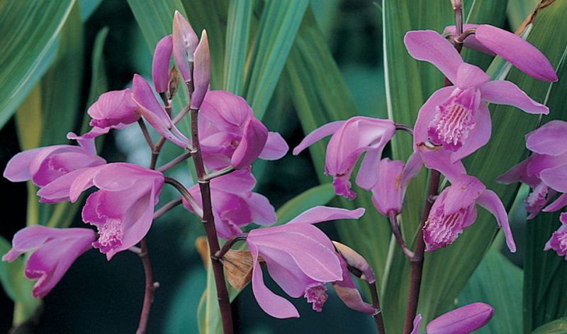 Bletilla striata / Bletilla hyacinthina