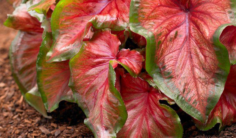 Caladium Lance-leafed form