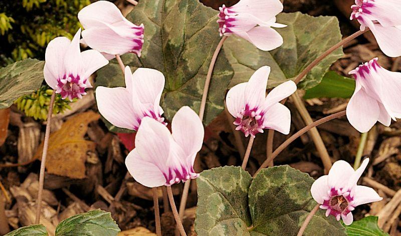 Cyclamen hederifolium / Cyclamen neapolitanum
