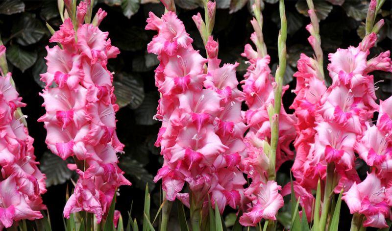 Gladiolus (large-flowered)