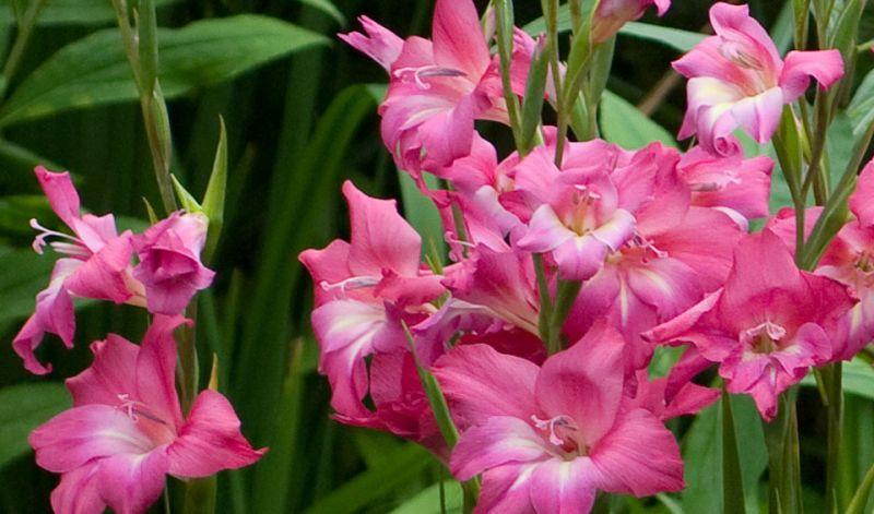 Gladiolus (low growing)