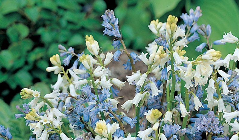Hyacinthus amethystinus / Brimeura amethystine