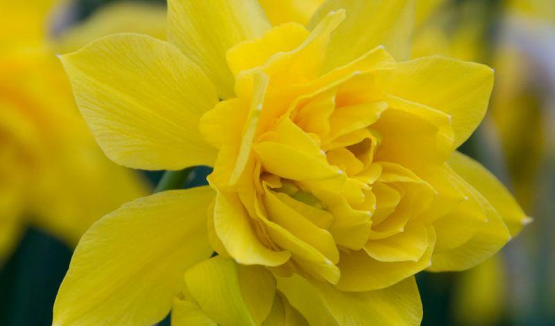 Narcissus Species