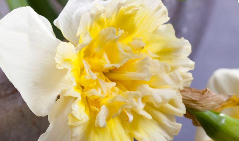Narcissus Split-Corona type