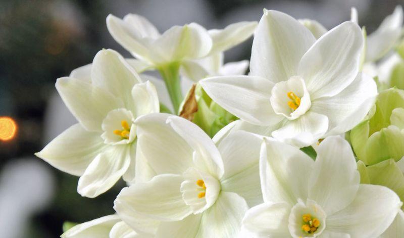 Paperwhite narcissus narcissus tazetta type mightylinksfo