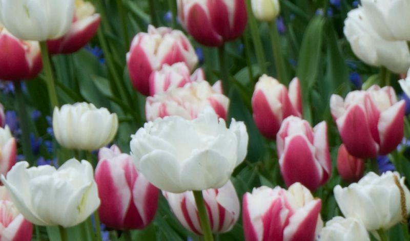 Tulipa Double Late group
