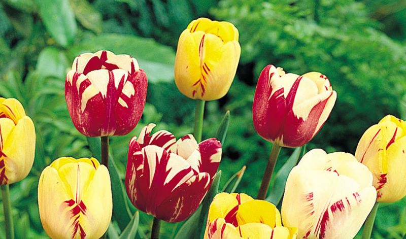 Tulipa Rembrandt group