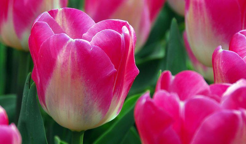 Tulipa Single Late group