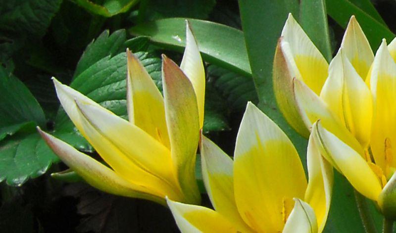 Tulipa tarda / Tulipa dasystemon