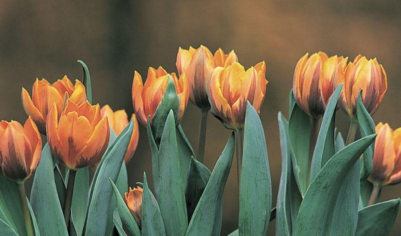 Tulipa Triumph group