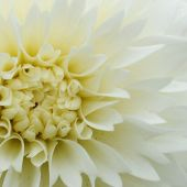 Dahlia Decasplit type