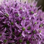 Allium hybrids