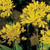 Allium moly / Allium luteum