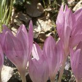 Colchicum bornmuelleri