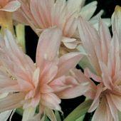 Colchicum hybrids