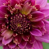 Dahlia Anemone-flowering type