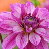 Dahlia Waterlily type