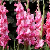 Gladiolus (large-flowered)