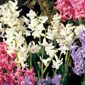 Hyacinthus multiflora