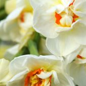 Narcissus Double type