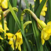 Narcissus Jonquilla type