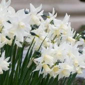 Narcissus Other cultivars