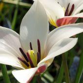 Tulipa clusiana / Tulipa stellate