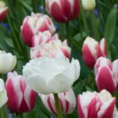 Tulipa Double Late group