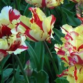 Tulipa Parrot group