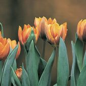 Tulipa Triumph group
