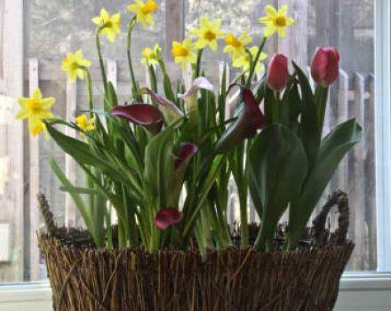 Potted Bulbs Calla Lilies Daffodils Amp Tulips