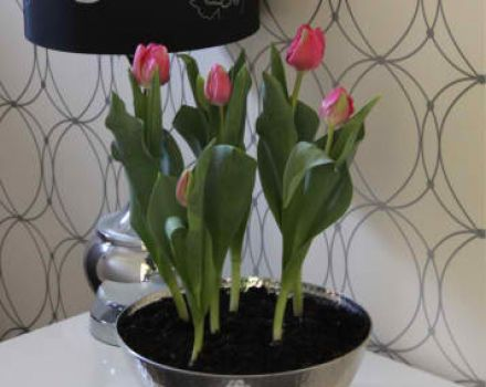 Indoor Potted Bulbs - Tulips